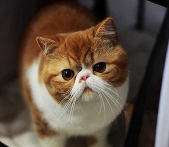 饲养布偶猫要注意什么