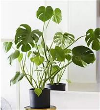 适合家庭栽培的**植物,你知道哪些?
