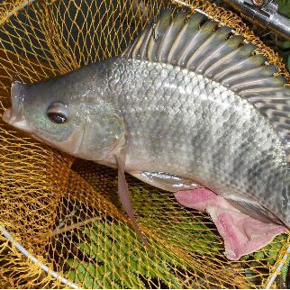 罗非鱼的苗种越冬技术