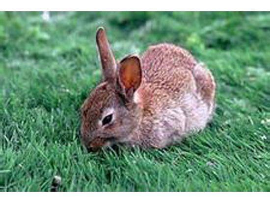 兔子养殖方法哪里有杂交野兔养殖