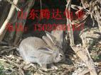 今日杂交野兔最新价格