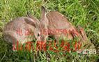 纯种野兔养殖场