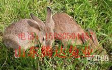 今年纯种野兔养殖前景
