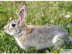 山东比利时兔最新价格
