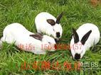 种兔价格,供应八点黑种兔价格图片