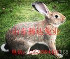 比利时兔养殖技术\肉兔养殖\养殖种兔