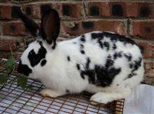 花巨兔好养吗?花巨兔能长多大?
