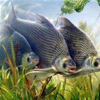 鳊鱼(白鲢)