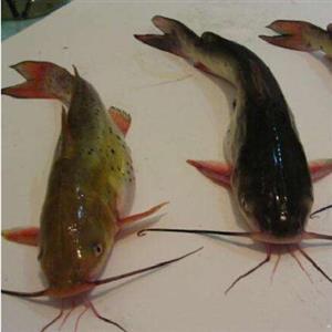 全雄黄骨鱼