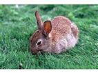 比利时商品兔 价格是多少